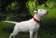 The bull terrier costs in a rack under a fir-tree Stock Photo