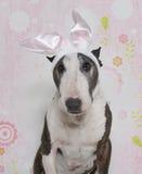 Bull-terrier de despote de Pâques Photographie stock