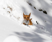 Bull Terrier in a deep snow bank Royalty Free Stock Photography