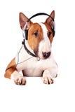 Bull-Terrier in den Kopfhörern stockfoto