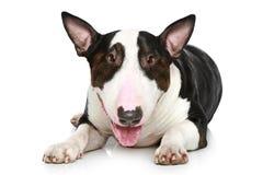 Bull-Terrier, der auf einem weißen Hintergrund liegt Lizenzfreie Stockfotos