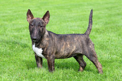 Bull terrier diminuto típico no jardim Imagem de Stock