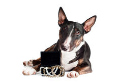 Bull terrier dog with a box of jewelry Royalty Free Stock Images