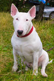 Bull Terrier Dog breed Stock Image
