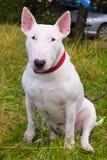 Bull Terrier Dog Breed Stock Image