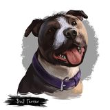 Bull Terrier dog breed isolated on white background digital art illustration. Egg shape head dog in leather collar, Bull terrier p. Ortrait hand drawn realistic stock illustration