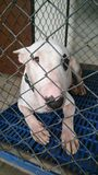Bull Terrier Dog in a cage Royalty Free Stock Photos
