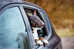 Bull terrier dog in a car window Stock Photography