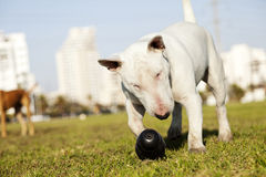 Bull Terrier with Chew Toy in Park. Bull Terrier dog caught in the  of fetching a chew toy at the park Stock Photography