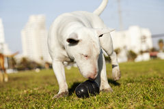 Bull Terrier with Chew Toy in Park. Bull Terrier dog caught in the  of fetching a chew toy at the park Royalty Free Stock Photos