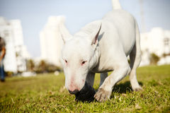 Bull Terrier with Chew Toy in Park Royalty Free Stock Photography
