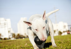 Bull Terrier with Chew Toy in Park. Bull Terrier dog caught in the  of fetching a chew toy at the park Stock Photos