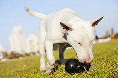 Bull Terrier with Chew Toy in Park. Bull Terrier dog caught in the  of fetching a chew toy at the park Royalty Free Stock Photography