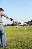 Bull Terrier Mid-Air in Park. Bull Terrier dog caught mid-air with his jaw clenching a chew toy, playing with its owner in the park Royalty Free Stock Photo