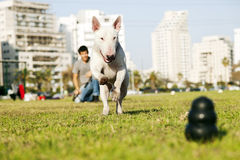 Bull Terrier Running for Chew Toy in Park. Bull Terrier dog caught in the middle of running to fetch chew toy with a large smile on its face, playing with its Royalty Free Stock Photography