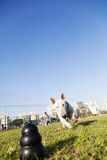 Bull Terrier Running for Chew Toy in Park Stock Image