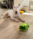 Bull terrier dog and chewed rugby rubber dog toy Stock Photography