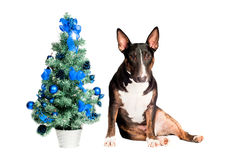 Bull terrier dog with a christmas tree Stock Photo