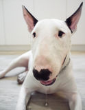 Bull Terrier dog drooling Royalty Free Stock Images