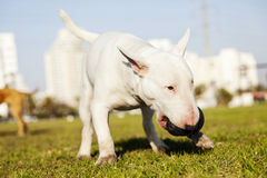 Bull Terrier with Chew Toy in Park. Bull Terrier dog fetching a chew toy at the park Stock Photos