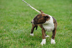 Bull Terrier dog Stock Images