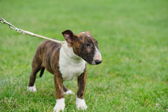 Bull Terrier dog Stock Photography