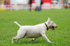 Bull Terrier dog Royalty Free Stock Images