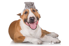 Bull terrier dog with a kitten on his head. English bull terrier dog with a kitten royalty free stock images