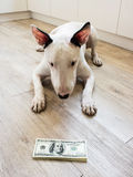 Bull Terrier dog looking to money. American dollars Stock Image