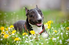 Bull terrier dog lying in a flower field royalty free stock image