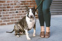 Bull Terrier Dog Next to Female Legs royalty free stock photography