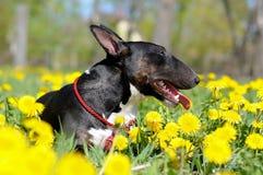 Bull terrier dog portrait in dandelions Royalty Free Stock Image
