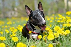 Bull terrier dog portrait in dandelions Royalty Free Stock Image