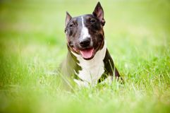 Bull terrier dog portrait in the grass Stock Image
