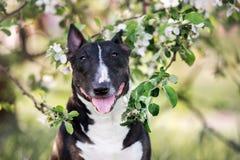 Bull terrier dog posing in blooming trees Royalty Free Stock Image