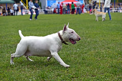 Bull terrier Royalty Free Stock Image