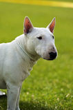 Bull terrier Stock Image