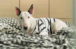 Bull terrier dog with strip shirt on polka dot bedroom Royalty Free Stock Photo