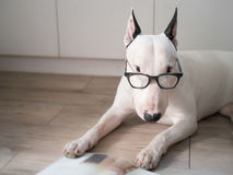 Bull terrier dog with vintage eyeglasses Royalty Free Stock Image