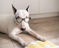 Bull terrier dog with vintage eyeglasses Royalty Free Stock Photo