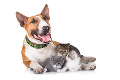 Bull Terrier Dog With Kittens Royalty Free Stock Image