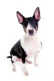 Bull terrier dopatrywanie i Obrazy Stock