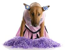 Bull terrier dressed as a cheerleader Royalty Free Stock Photo