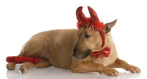 Bull terrier dressed up as devil Royalty Free Stock Photo