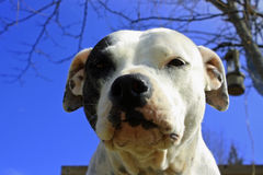 Bull-terrier du Staffordshire Photo stock