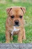Bull-terrier du Staffordshire Photographie stock
