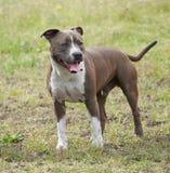 Bull-terrier du Staffordshire Image stock