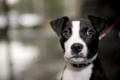 Bull-terrier du Staffordshire Photo stock