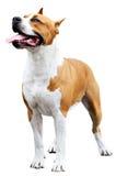 Bull-terrier du Staffordshire au-dessus de blanc Photo libre de droits
