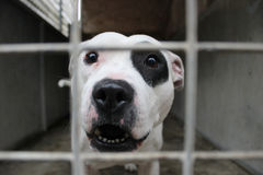 Bull-terrier du Staffordshire derrière des bars Images stock